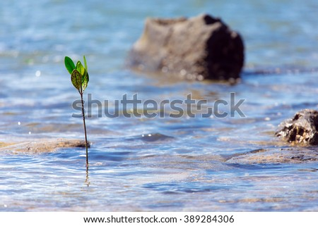 Mangrove tree sprout emerging for the tropical sea - stock photo