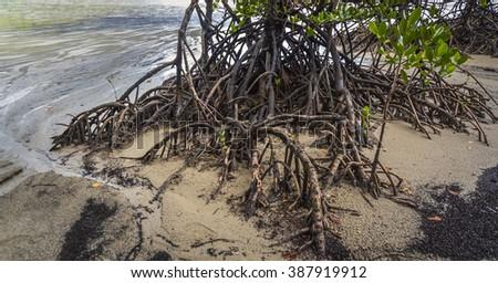 mangrove tree tropical Cape Tribulation beach - stock photo