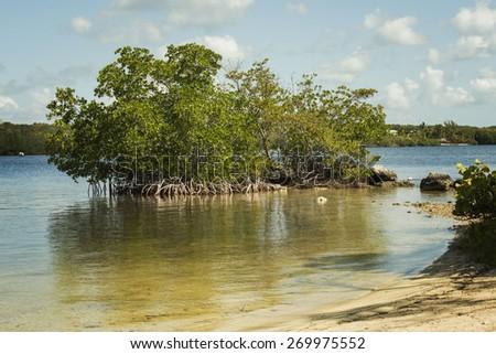 Mangrove trees along the shore of the Florida keys - stock photo