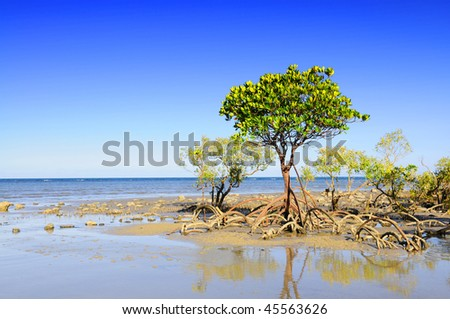 Mangrove trees and roots on the beach of Cape Tribulation, Australia - stock photo