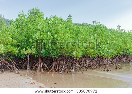 mangrove trees forest nature background - stock photo