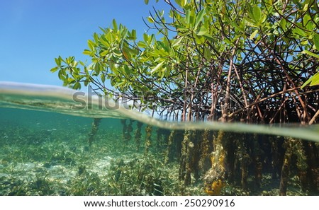 Mangrove trees roots, Rhizophora mangle, above and below the water in the Caribbean sea, Panama, Central America - stock photo