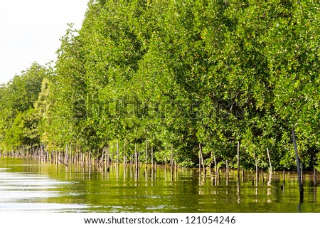 Mangroves forest. Thailand - stock photo