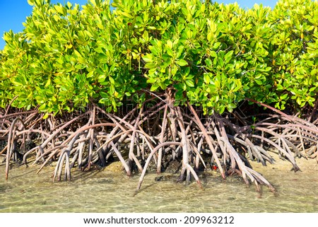 Mangroves growing in shallow lagoon, Mauritius Island - stock photo