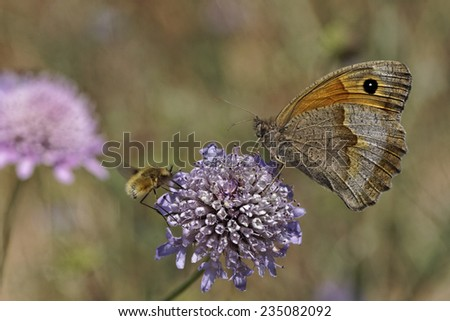 Maniola jurtina, Meadow Brown butterfly (female) from Western Europe - stock photo