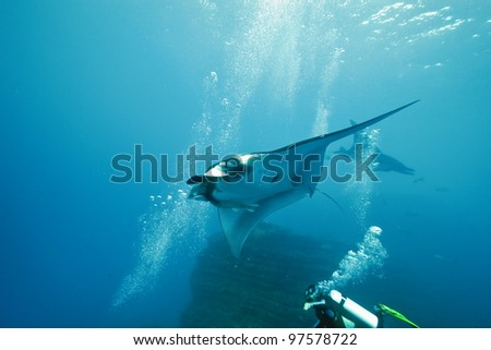 Manta and diver on the reef - stock photo