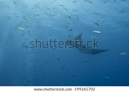 Manta in the deep blue sea while diving - stock photo