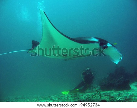 Manta Ray and Diver, Sangalaki, Indonesia