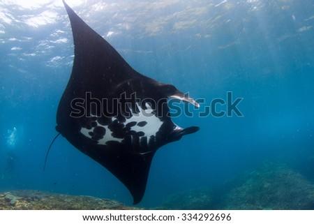 Manta ray dance. Black manta ray in shallow water. Nusa Penida, Indonesia. - stock photo