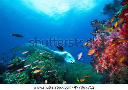 Manta Ray, fishes and coral reef.