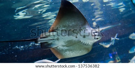 Manta ray floating underwater among other fish - stock photo
