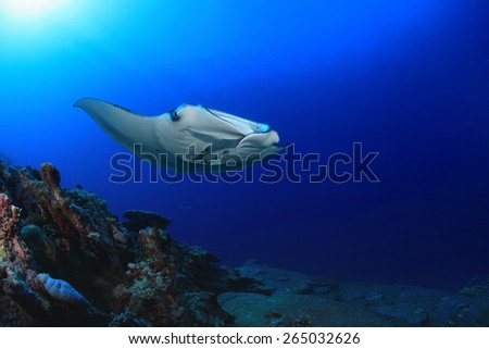 Manta ray floating underwater over tropical coral reef - stock photo