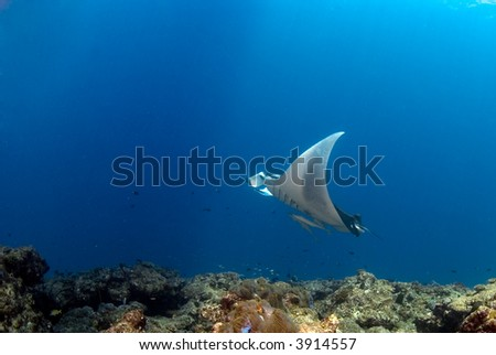 manta ray flying over reef - stock photo