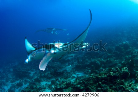 Manta ray flying over the reef - stock photo