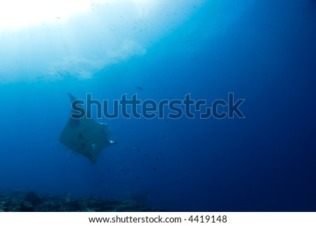 Manta ray flying under the sun - stock photo
