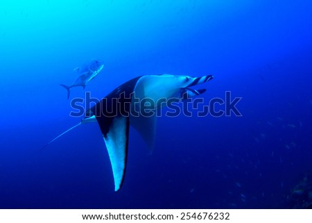 Manta Ray in blue water - stock photo