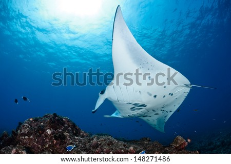 Manta ray in Indian Ocean - Maldives, North Male Atoll