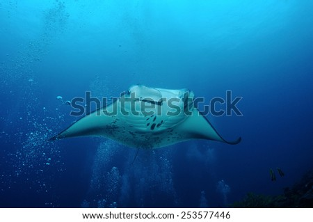 Manta-ray is floating in bubbles at the cleaning station, S. Ari Atoll, Maldives