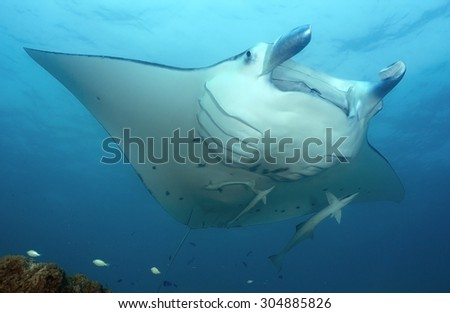 MANTA RAY OPEN MOUTH CLEANING BY SMALL WRASSE - stock photo