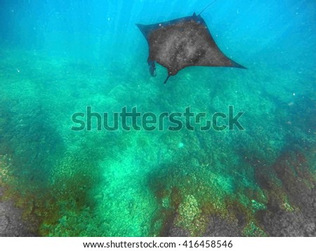 Manta ray over the reef, with sunlight reflecting around it, off Naviti Island in the Fiji Islands