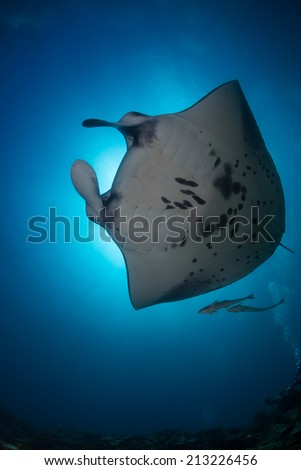 Manta ray under the sunburst and blue background in indian ocean - stock photo