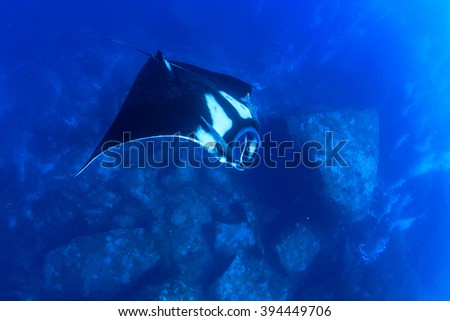 Manta ray with scuba divers in background - stock photo