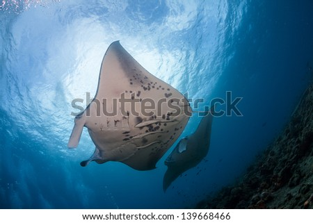 Manta rays at cleaning station in maldives - stock photo
