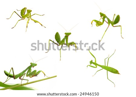 Mantis close-up collections macro isolated on white