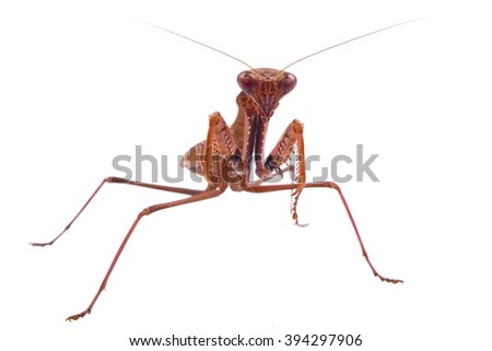Mantis isolated on a white background - stock photo