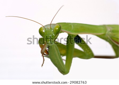 Mantis isolated on white background - stock photo