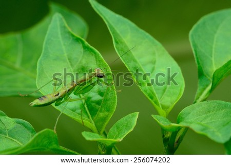 mantis on a green leaf - stock photo
