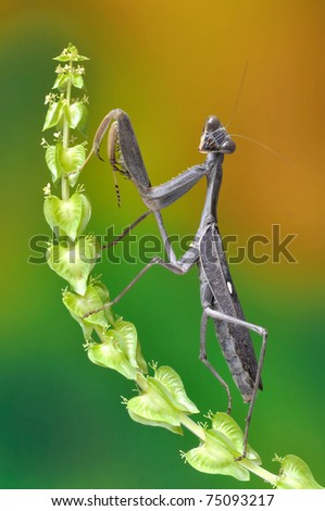 Mantis Sphodromantis viridis on the plant - stock photo