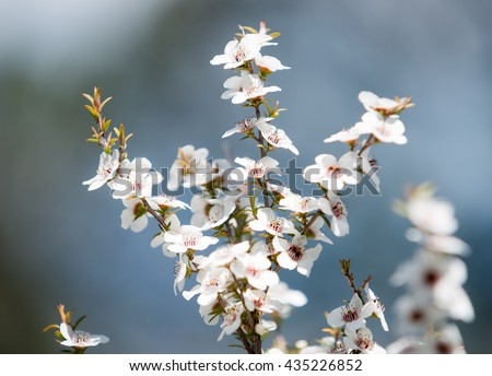 Manuka small white flowers that produce pollen for highest quality honey