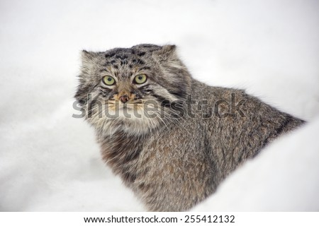 Manul (Pallas 'cat ). Manul - wild cat living in the Central and Middle Asia.