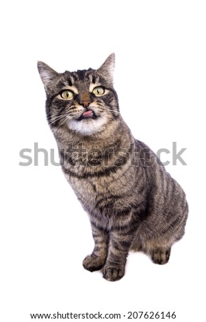 Manx cat sitting with funny expression sticking tongue out isolated on white background