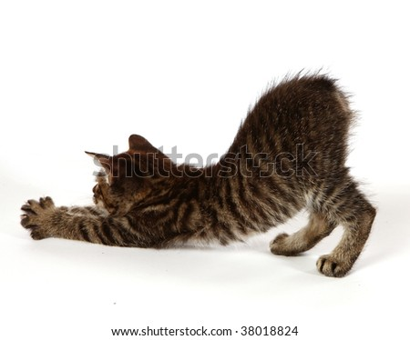 Manx kitten stretching on a white background