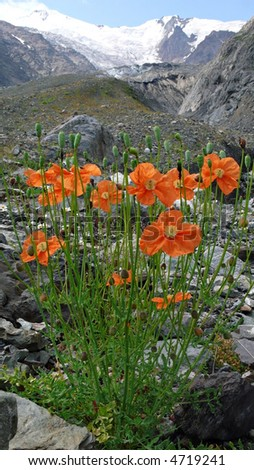 Many alpine red and orange poppies. Vertical view. Mountains in the background. - stock photo