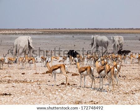 Many animals at waterhole (elephant, springbok, ostrich) im Etosha National Park (Namibia) - stock photo
