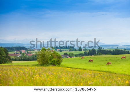 Many beautiful cows on the green summer field in Germany, with mountains on the background - stock photo