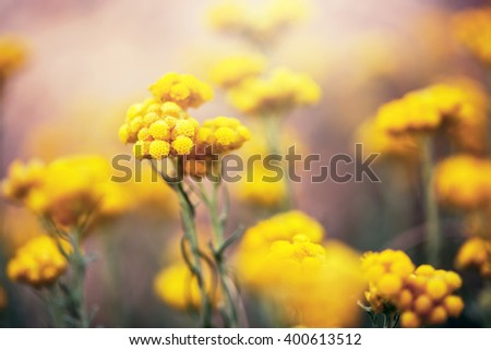 many beautiful meadow wild yellow soft flowers in natural bright colorful red background in spring field. Vintage sunny outdoor photo in park - stock photo