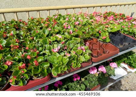 many beautiful red begonias - stock photo