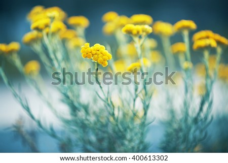 many beautiful tall meadow wild yellow flowers on natural blue green background in field. Outdoor spring fresh mystery photo - stock photo