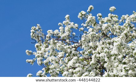 many beautiful white curvy delicate flowers on the branches of apple trees appeared in early spring against a bright blue sky - stock photo