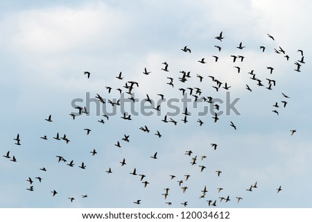 many birds flying in the sky, nature series - stock photo