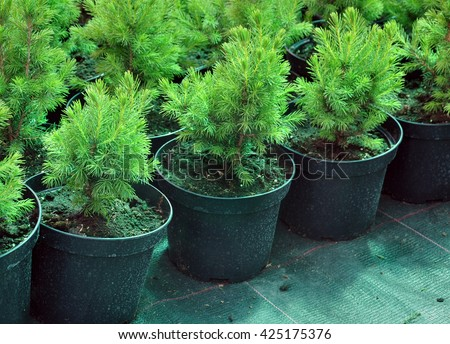 Many black pots with soil and seedlings of coniferous trees. - stock photo