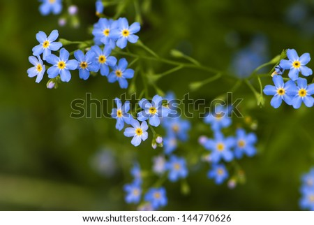 many  blue forget-me flowers in the garden - stock photo