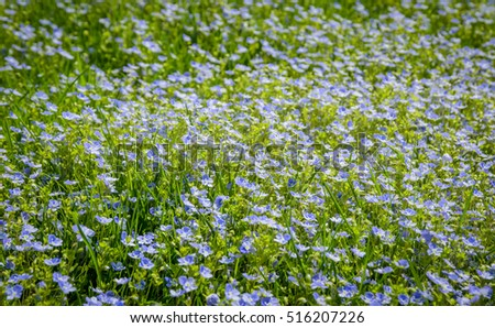 many blue forget-me-not flowers in the grass