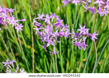 Many bright small violet flowers on grass background - stock photo