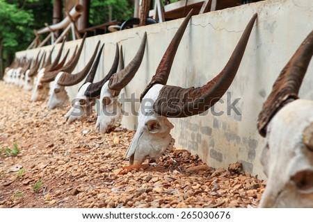 Many buffalo skull was placed in a row. - stock photo