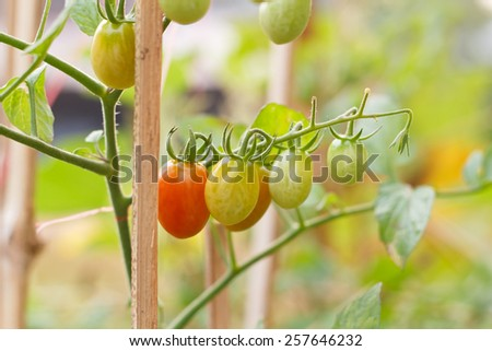 Many bunches with ripe red and unripe green tomatoes that growing in Thailand open farm. - stock photo